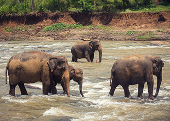 Elephants cool off in river