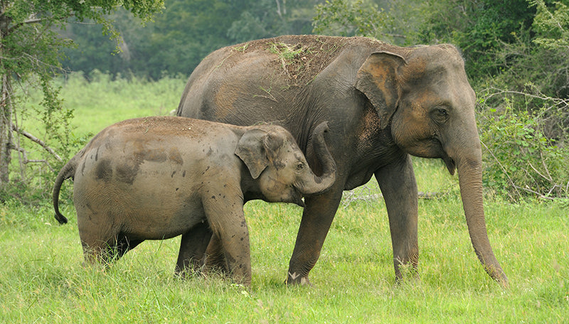 Saving Elephants