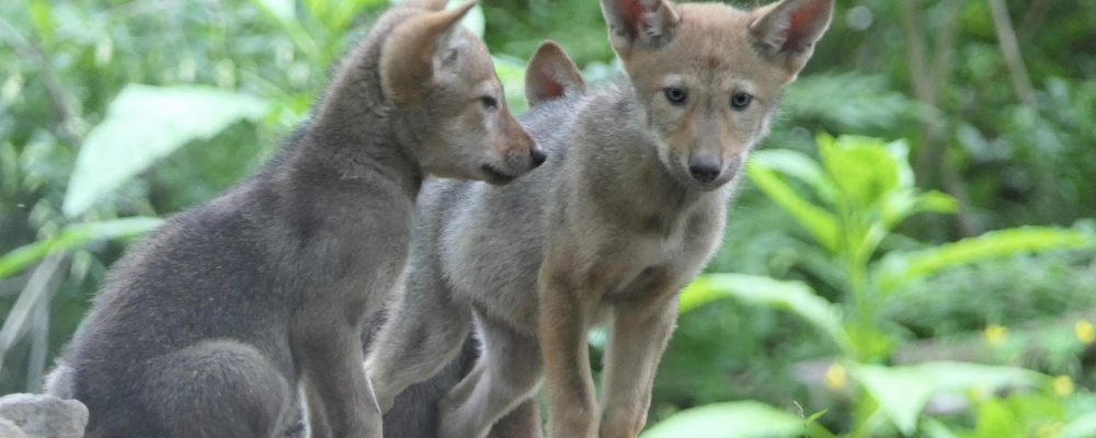 baby red wolves