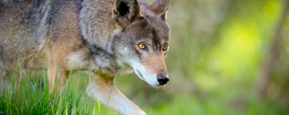 red wolf animal