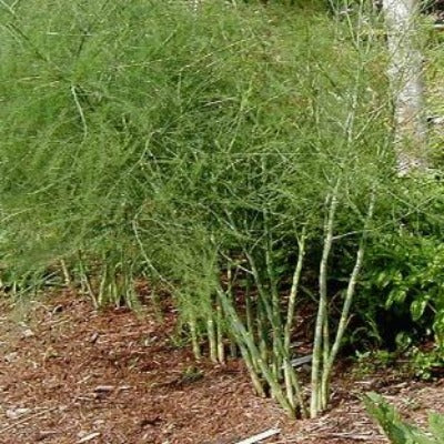 Jersey Giant 3 Year  Asparagus Roots produce short thick spears and plenty of the,. Buy many easy to plant fast to grow. Fardening delight,