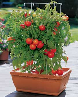 Mountain Man tomato plants for sale. Buy many easy to plant fast to grow garden delight. Buy best.