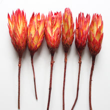 Load image into Gallery viewer, Protea  - Repens