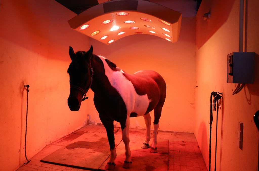 Horse being treated with red light therapy