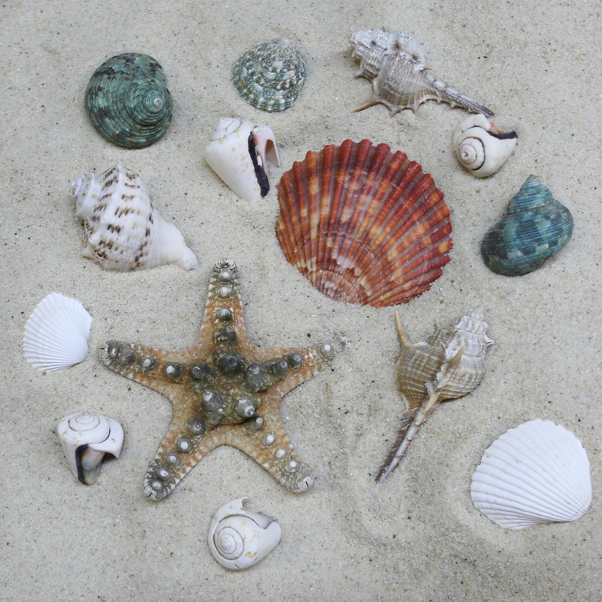 Assorted Seashells