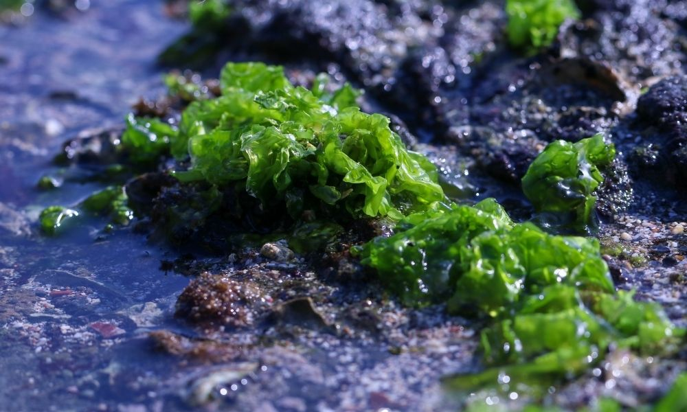 Sea Moss Gel vs. Capsules: Which Is Better for You?