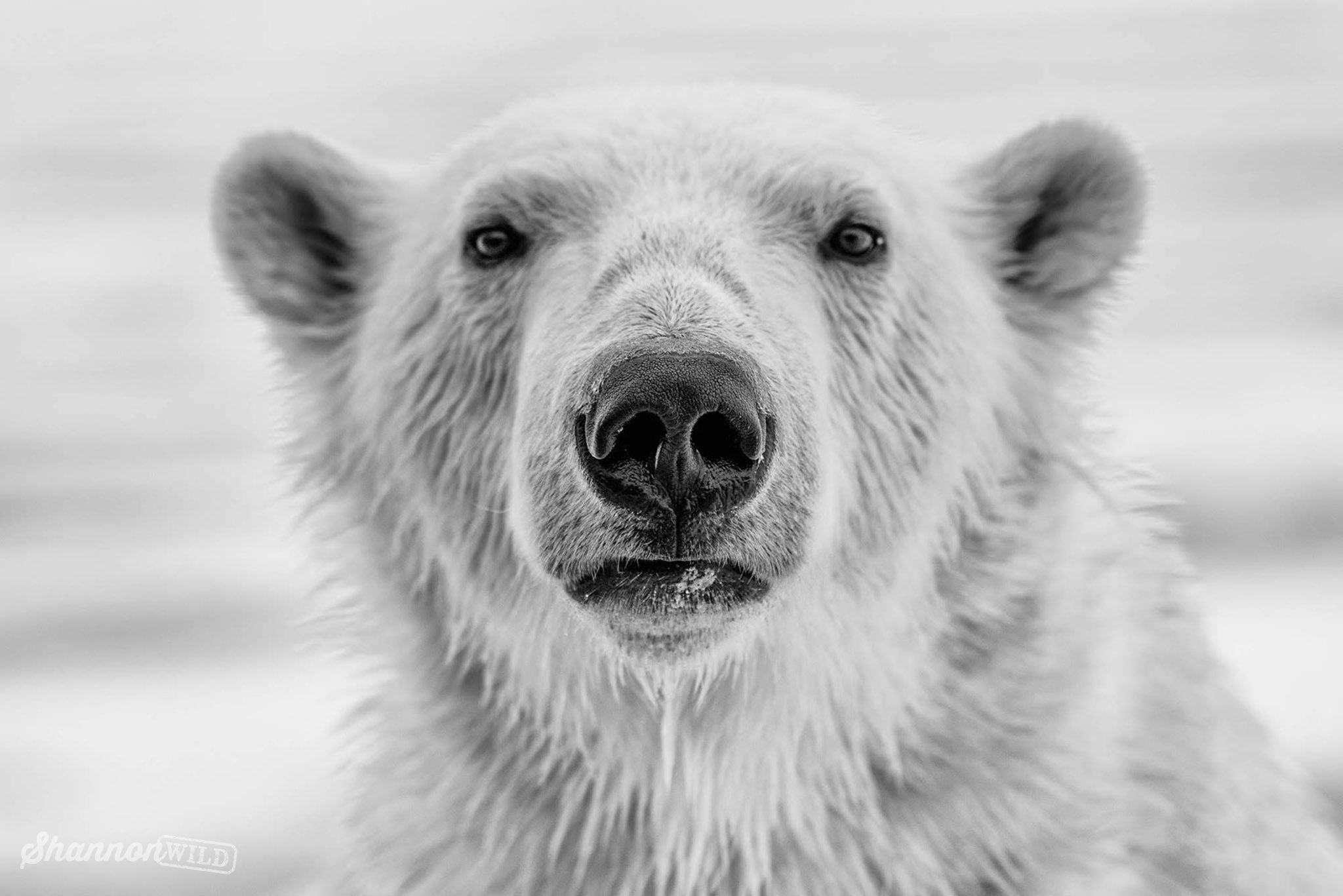 Inquisitive_Polar_Bear_5_Minutes_With_Shannon_Wild