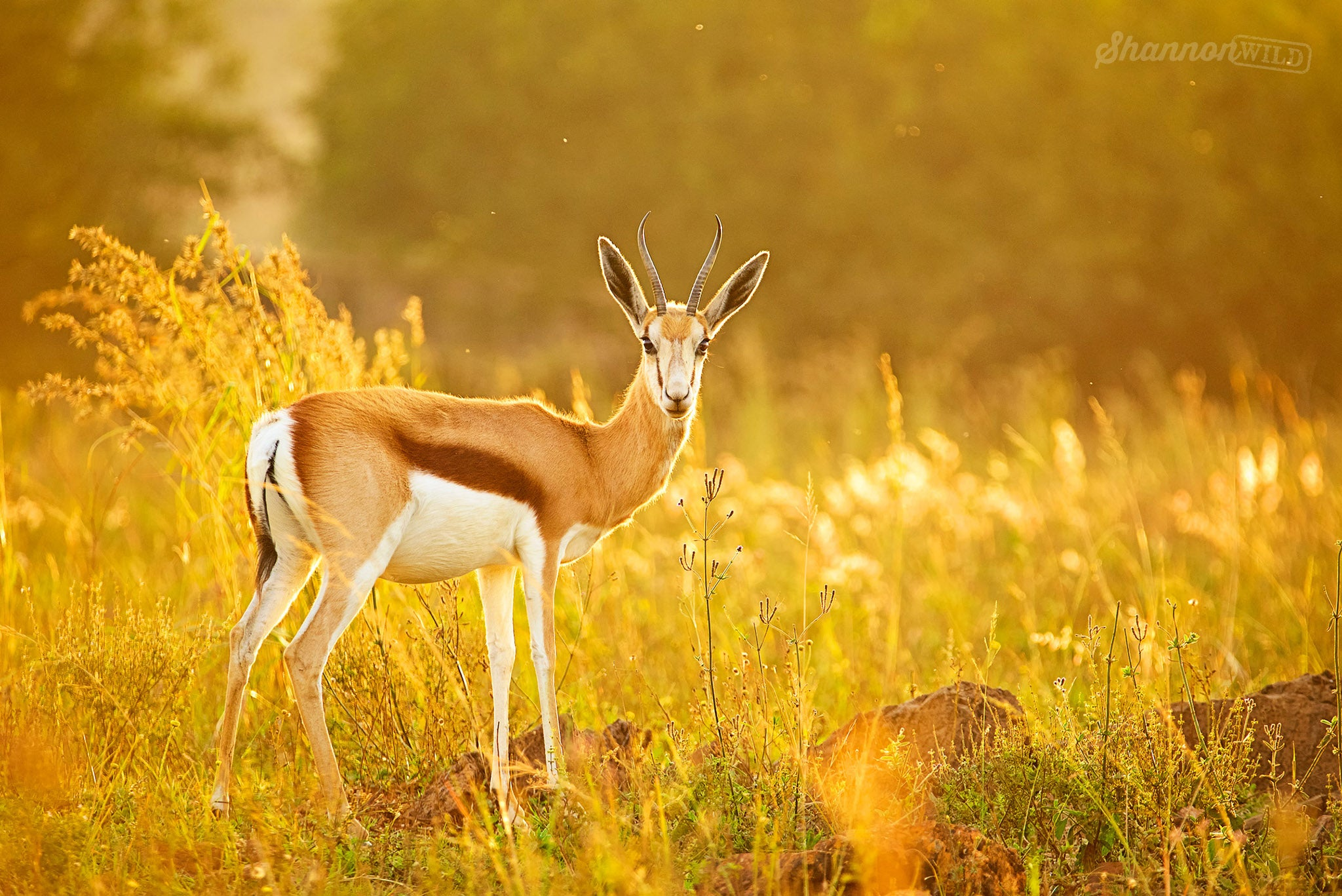 Golden_Impala_In_The_Sun_By_Shannon_Wild_ThinkTankPhoto