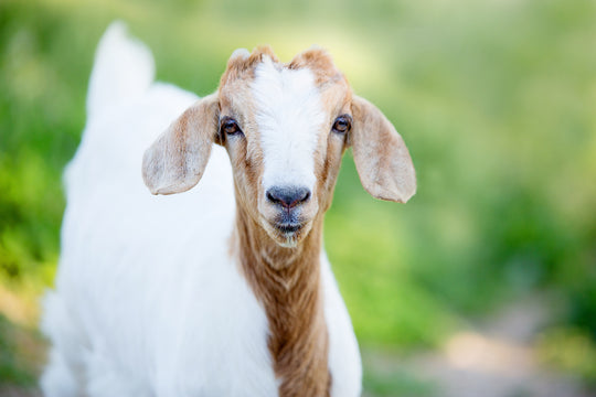 How to Keep Skin Youthful with Goats Milk
