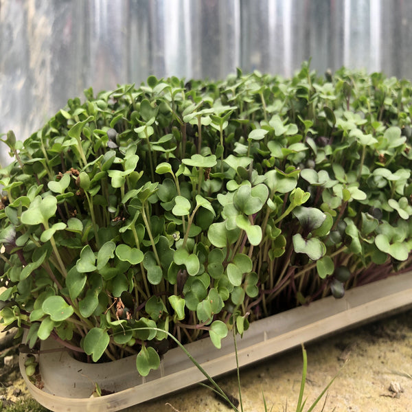 Micro Greens liven up your diet, add essential nutrients, and are simple and affordable.