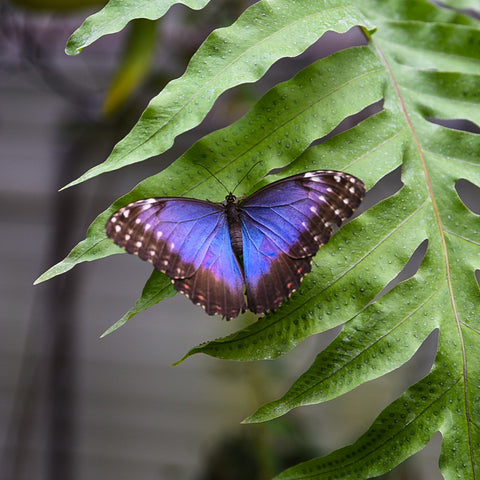 Bright blue butterfly on fern leaf close up.