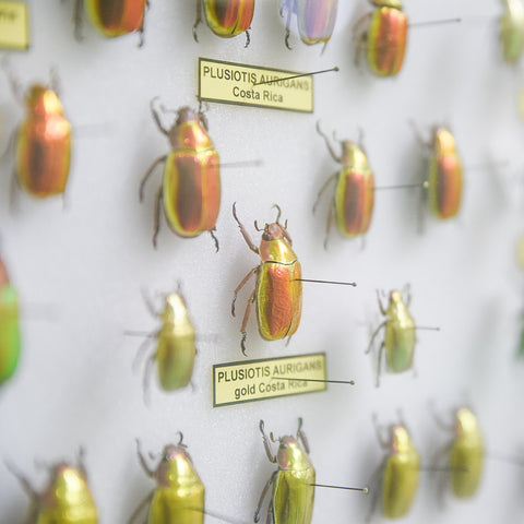 A collection of iridescent and colorful beetles encased in glass. Close up.