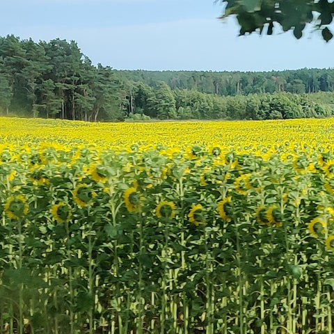 Endless fields of sunflowers and lush forest along the far edge.