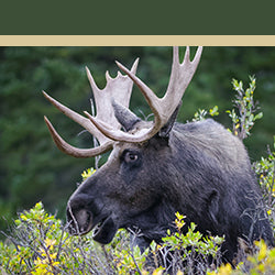 Image of a moose in the wild
