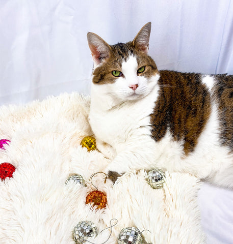 picture of Lou the cat of Lou And Company laying on white backdrop with disco balls scattered around the floor
