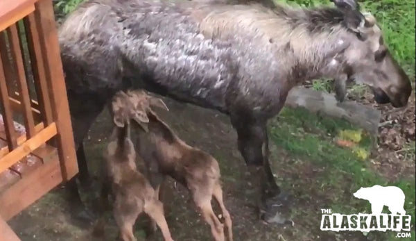 Nursing Moose Calves Can't Drink Fast Enough