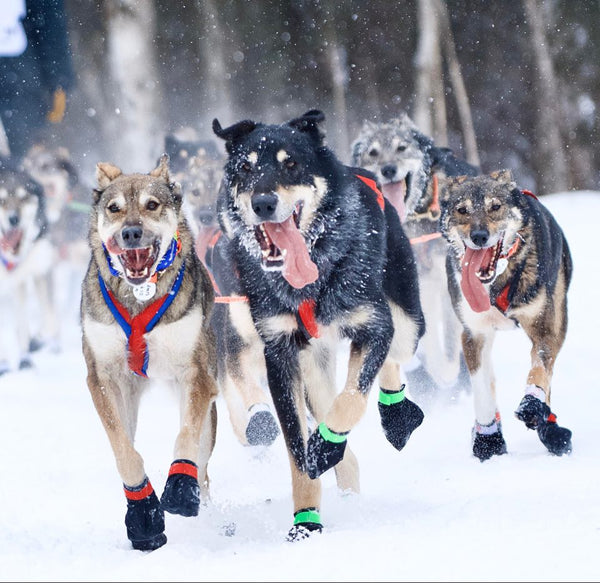 Iditarod 2020 -March 8th 2020