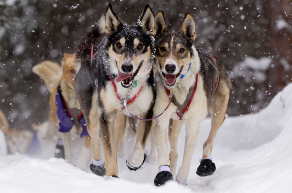 2019 Iditarod Coverage -- Day 6