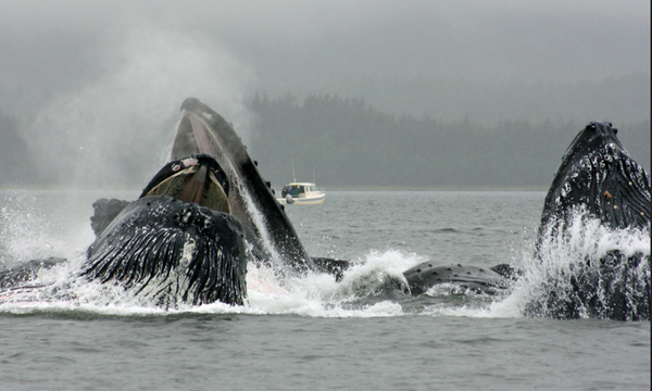 Whales in Alaska are huge.  But did you know that they sing? (Video)