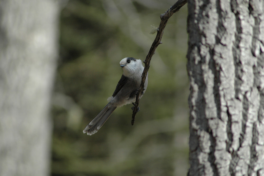 A camp robber perched on a tree