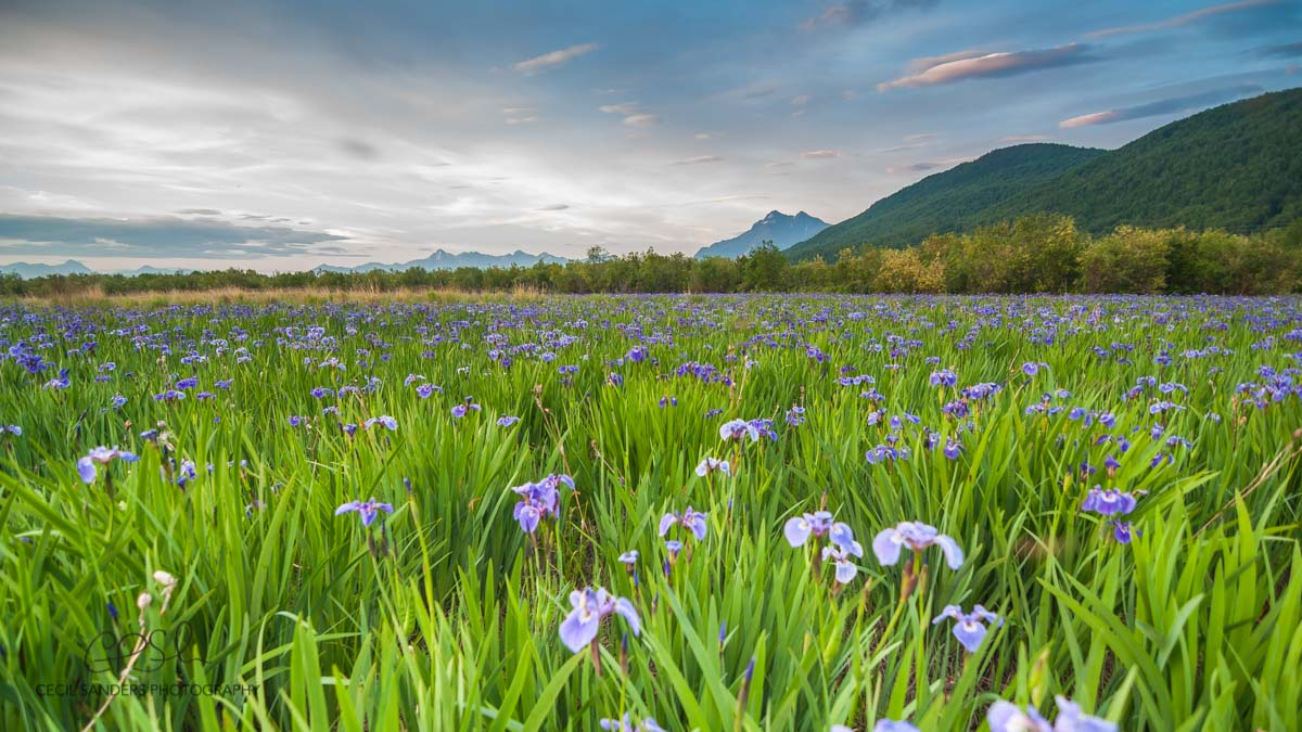 Iris Fields Cecil Sanders Photography Top Ten Things to do in the Mat Su