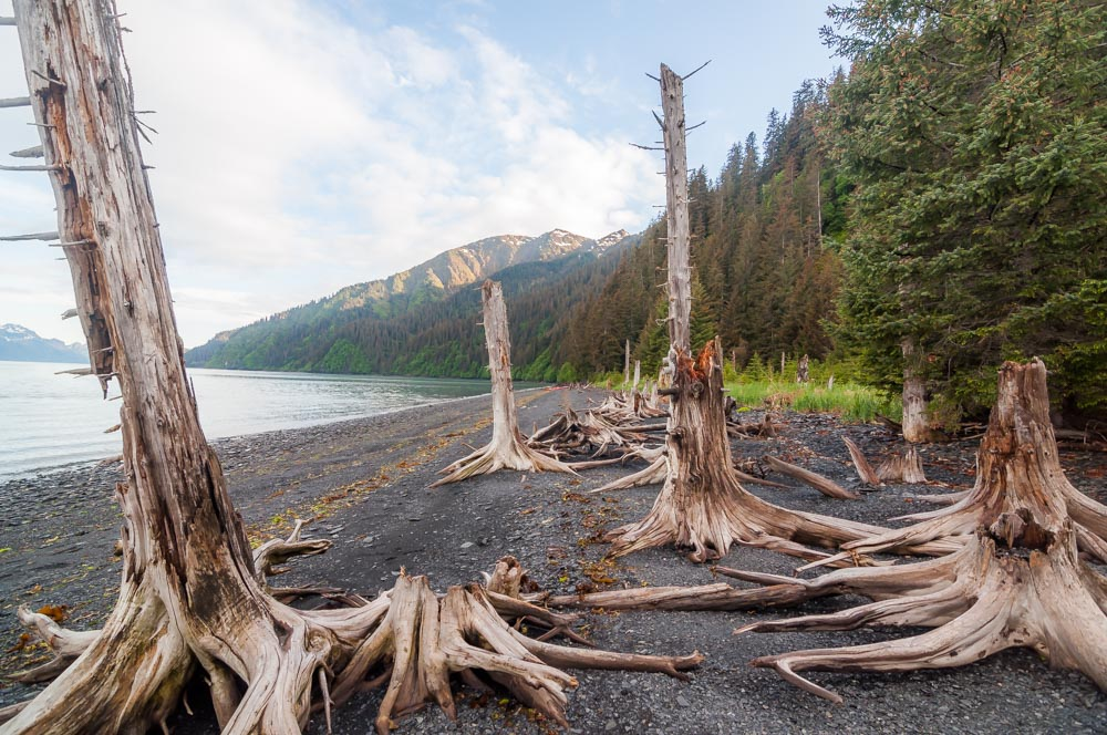 Ghost forest Resurrection Bay