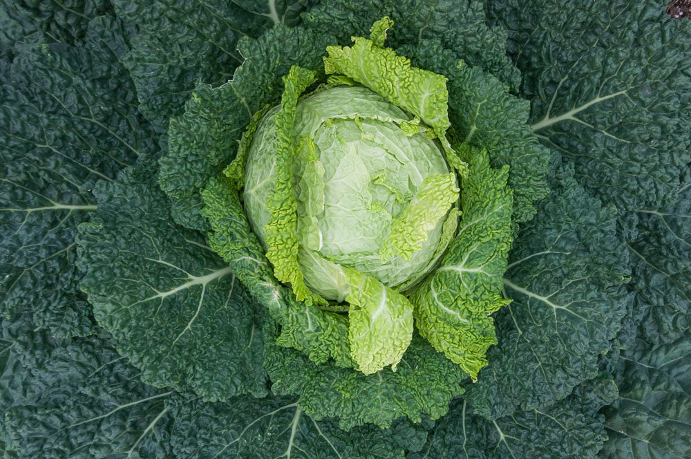 a large cabbage ready to harvest