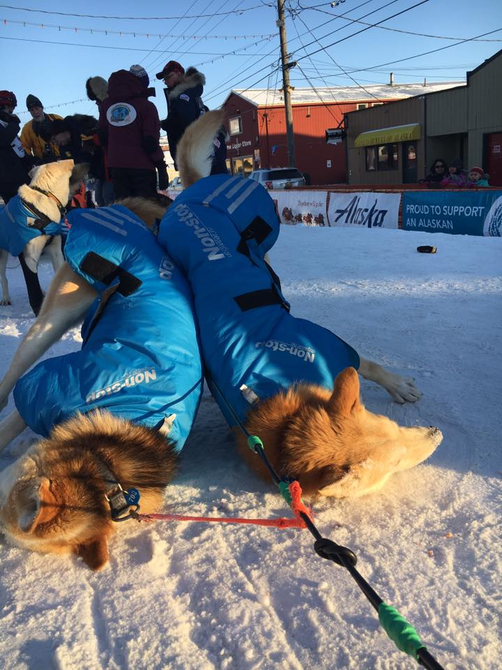 Dogs with Non Stop Jackets Iditarod Food Drop