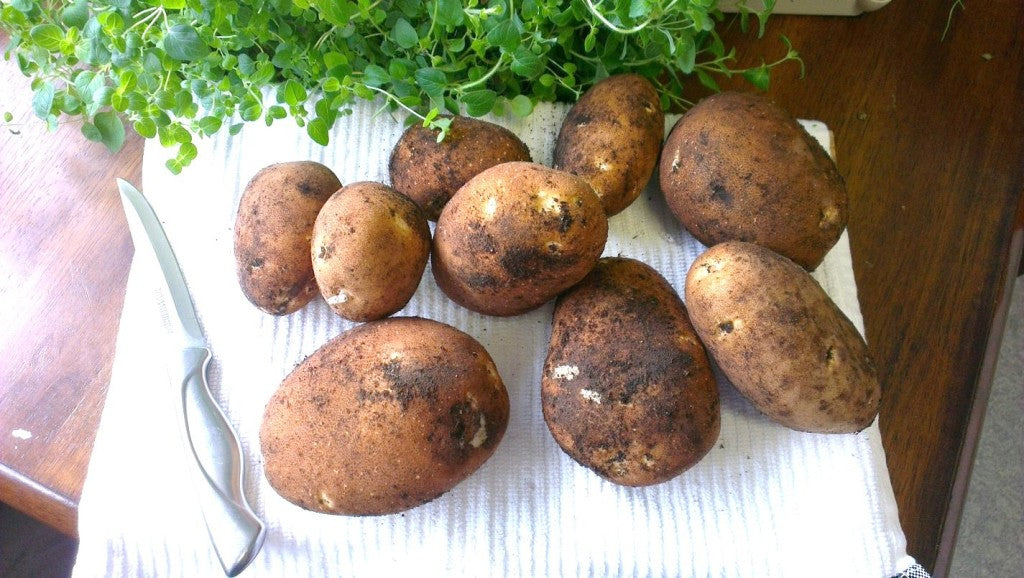 Our first potato harvest!