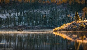 A moose wading in a lake on the Dalton Highway