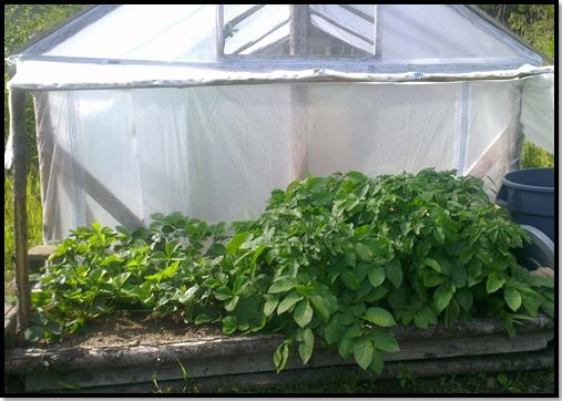 """The """"Taterberry Patch"""" With a greenhouse in the the background."""