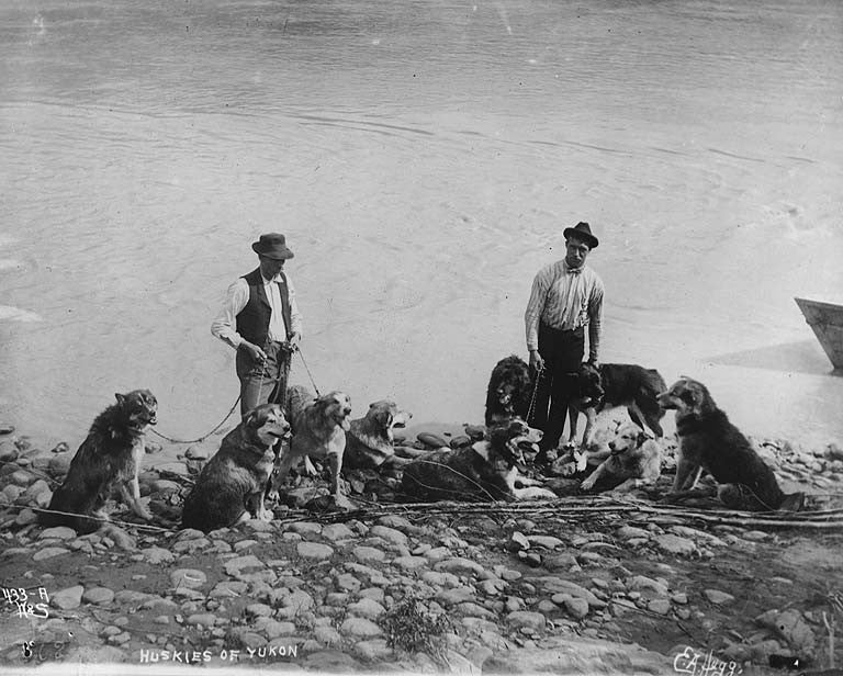 sled dogs at the yukon river - dog races - heinie snider