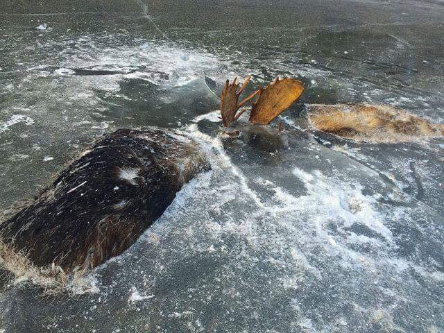 alaska bull moose in ice locked together by their antlers