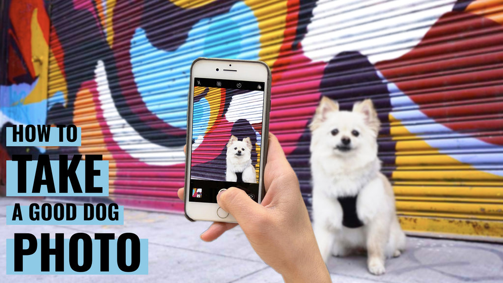 """""""How to take a good dog photo"""" overlayed on a hand holding an iphone taking a photo of a white pomeranian-chihuahua sitting in front of a colorful graffitied store front."""