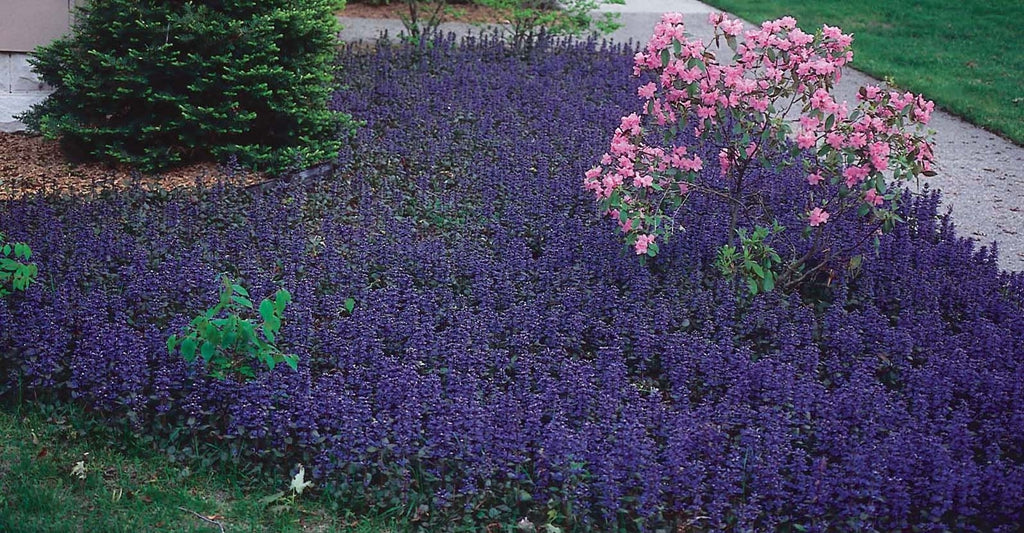 DIY: PERENNIALS FOR GROUND COVERS