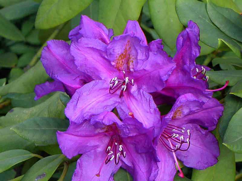 DIY: THE BEAUTY OF RHODODENDRONS AND AZALEAS