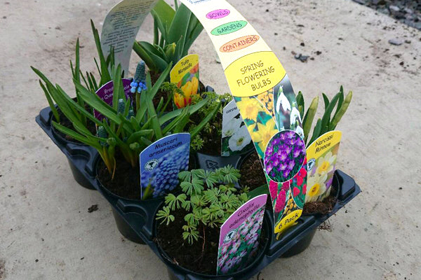 Beautiful Bulbs (Potted Bulb Premium Mix)