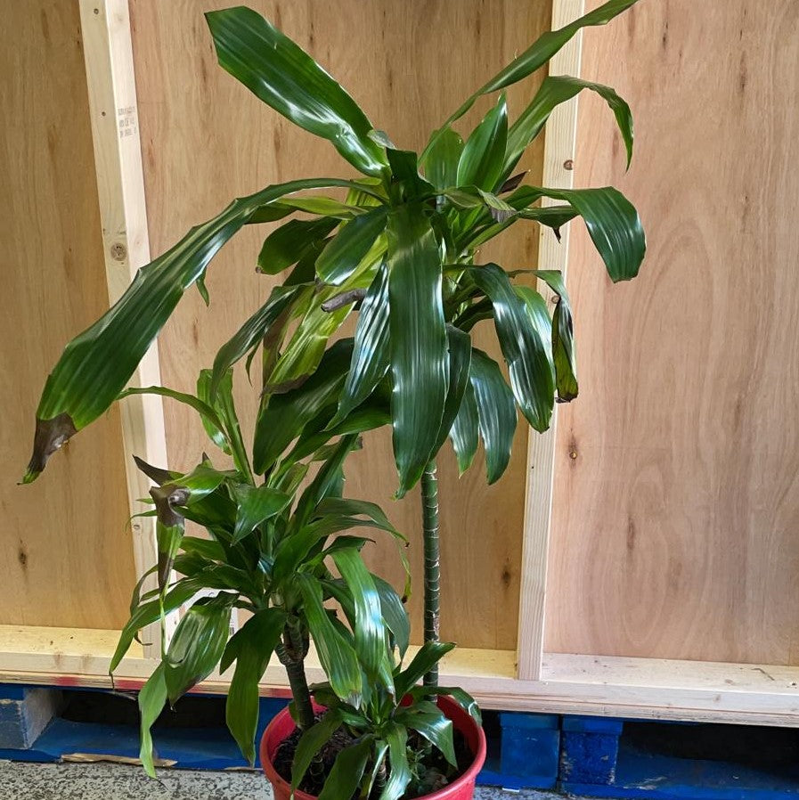 Rescue Dracaena triple cane (Large 5L Pot)