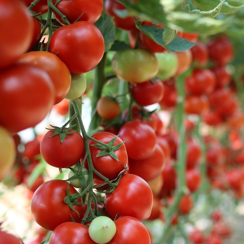 Tomato Collection 6 pack