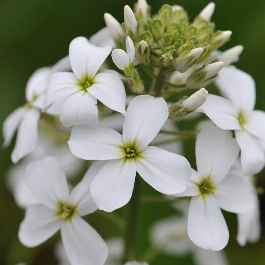 Hesperis White Collection