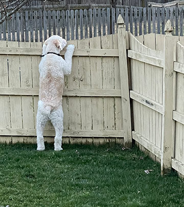 Shammie looking over the fence