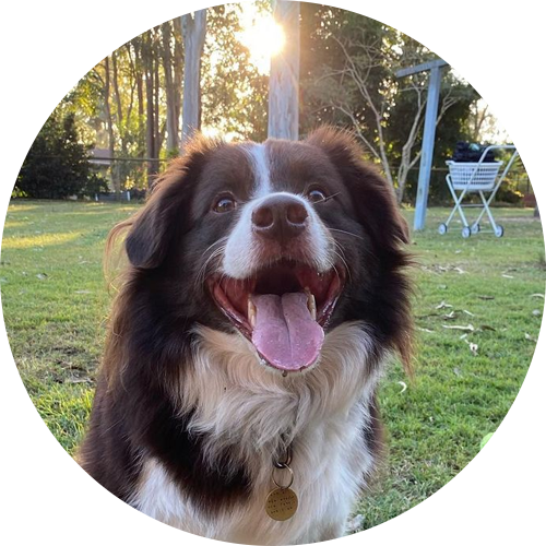 a happy chocolate border collie looking at the camera