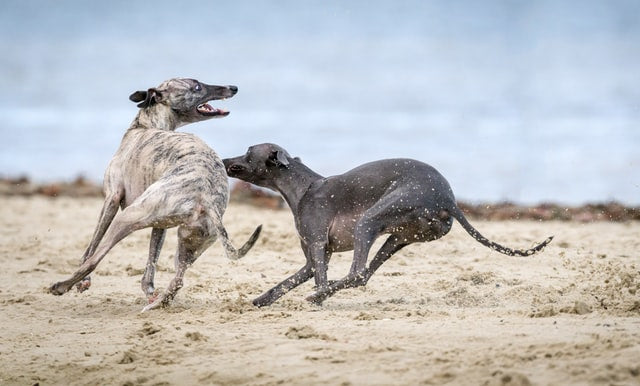 two sighthounds playing on a beach