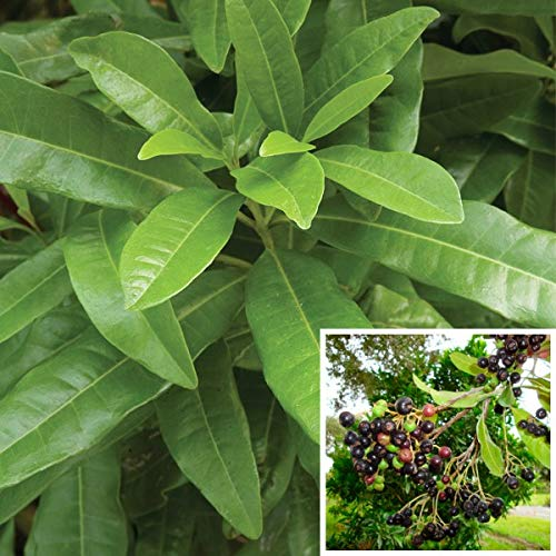 Sarva Sughandhi Allspice Sweet-Scented Spice Live Plant Aromatic Berries