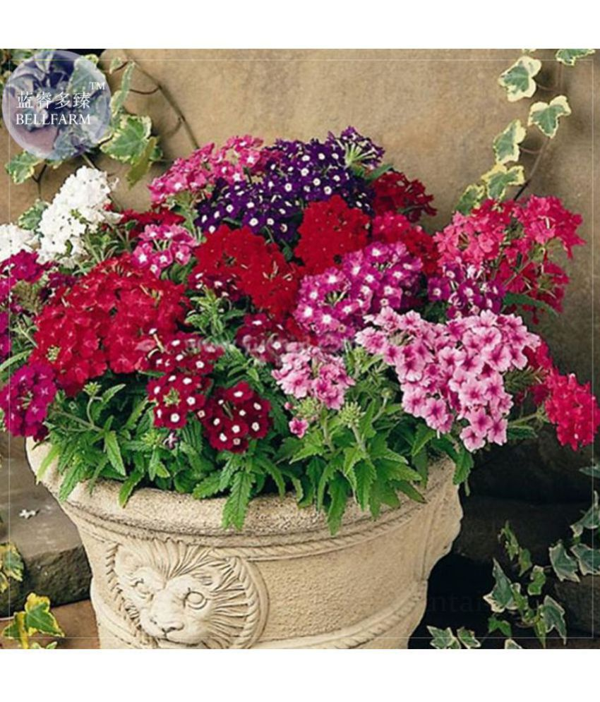 Verbena Ideal Florist Mixed