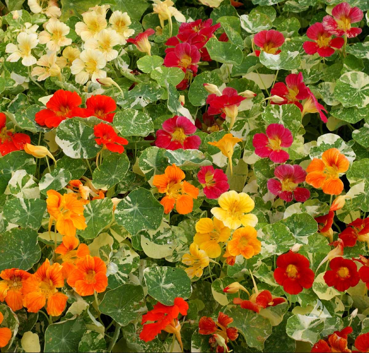 Nasturtium Variegated Mix  (Mimulus Mystic Mix )