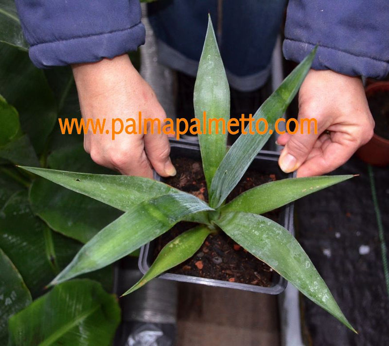 "Agave tequilana ""blaue Agave / 30cm ∅, 30 cm H"