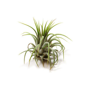 Tillandsia Ionantha Small Plant Variety Bundle of 6