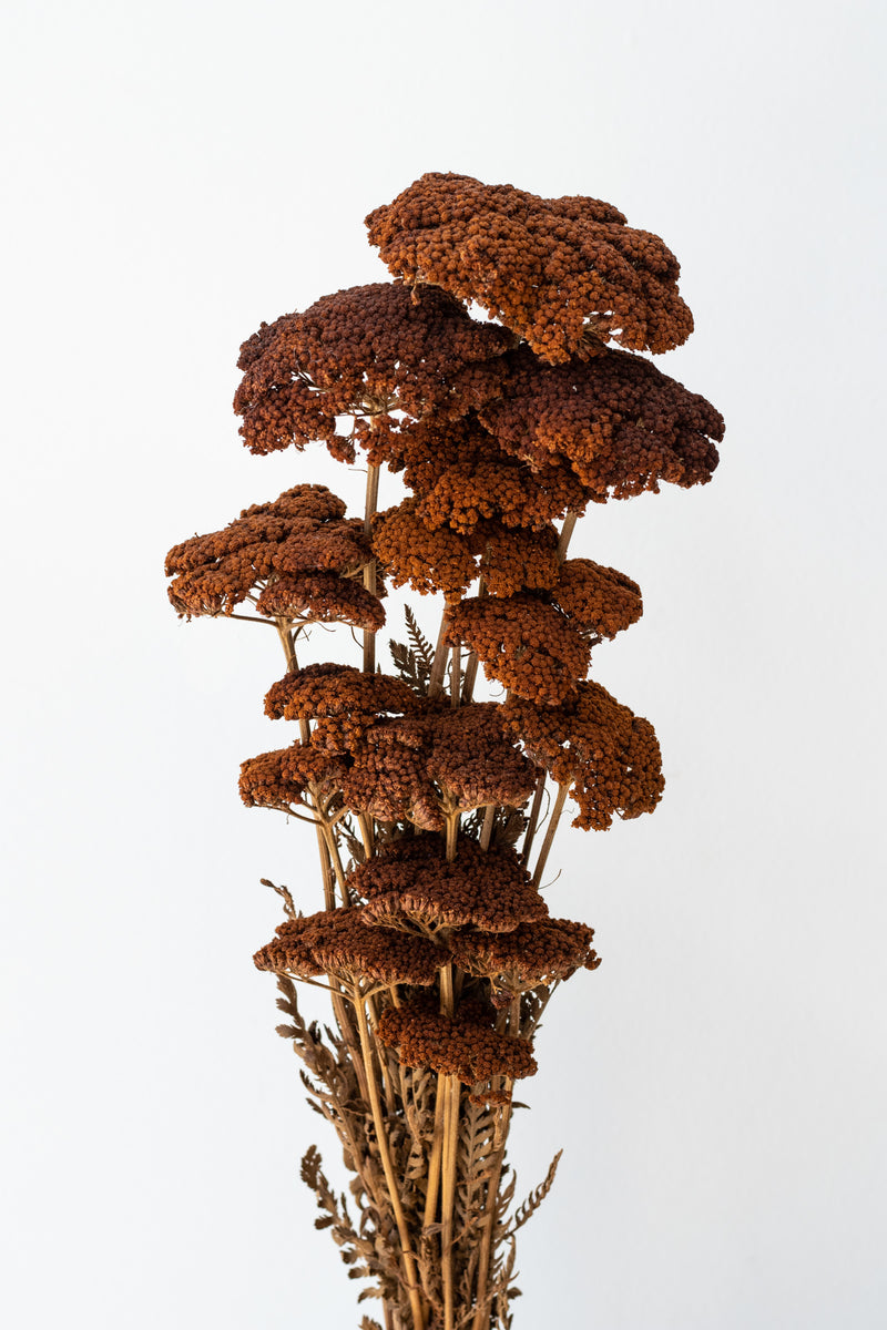 Bundle of preserved brown Achillea against a white background