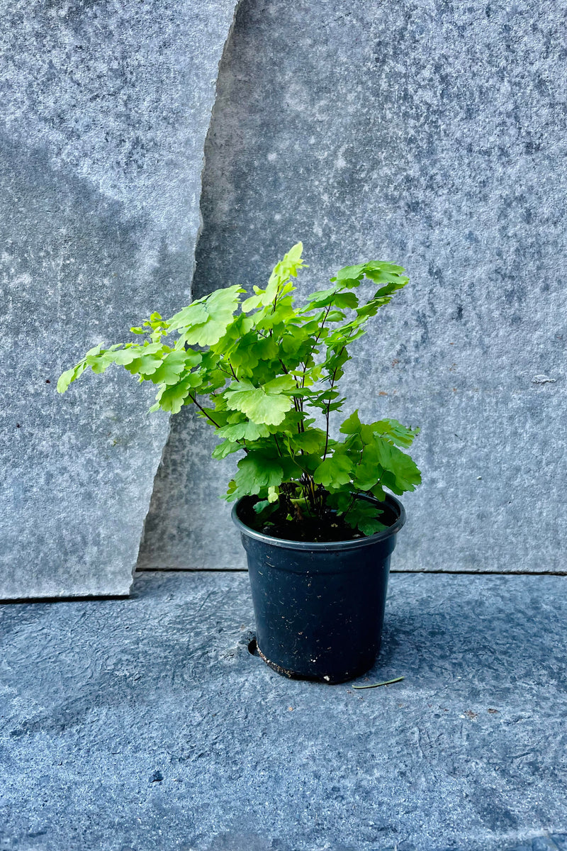 "Adiantum raddianum fern in a 4"" growers pot."